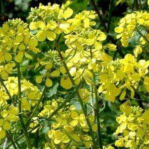 Семена медоносных растений